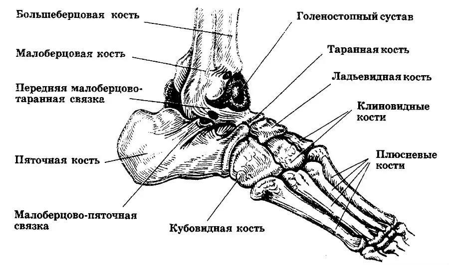 Кубовидная кость стопы на схеме