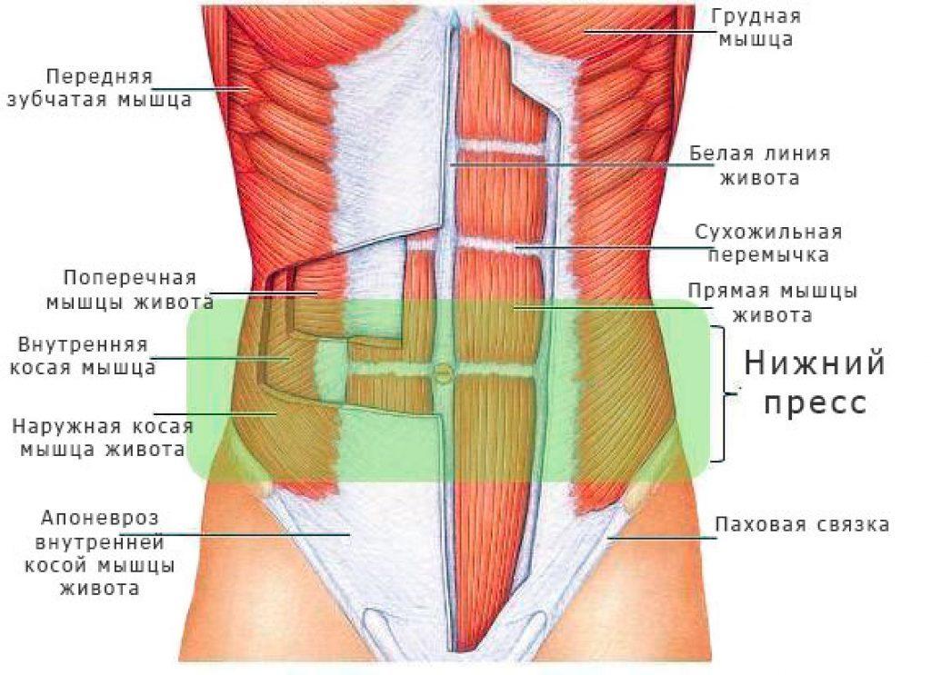 Схема брюшных мышц
