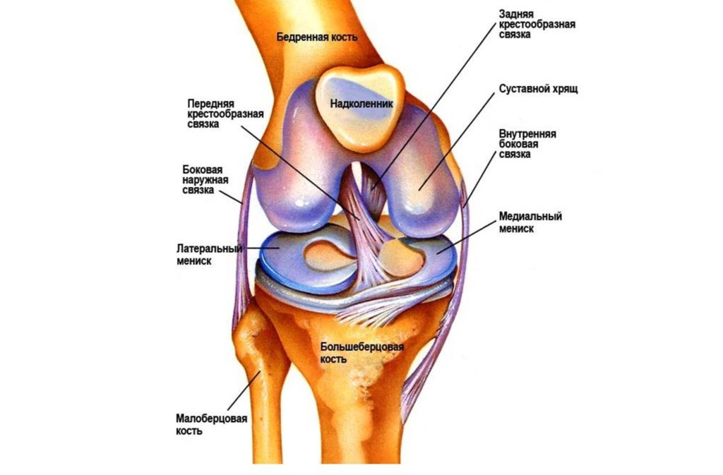 Устройство коленного сустава