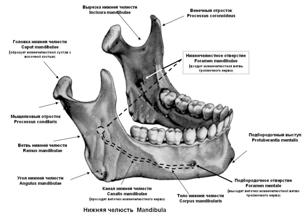 Структура нижней челюсти